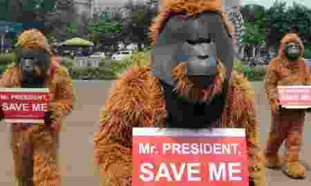 Pembukaan Lahan Sawit Mengancam Populasi Orangutan Di Aceh